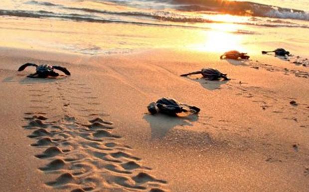 H πρώτη φωλιά θαλάσσιας χελώνας στην Κεφαλονιά