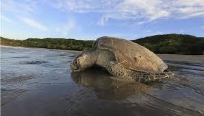 Η Γουάντα, μια γιγάντια θαλάσσια χελώνα, επέστρεψε στο φυσικό της περιβάλλον…