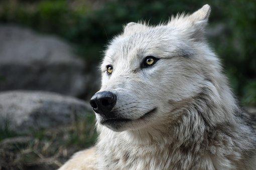 Λύκοι φεύγουν από την απαγορευμένη ζώνη του Τσερνόμπιλ – Ανησυχία αν εξαπλώνουν μεταλλάξεις στην Ευρώπη
