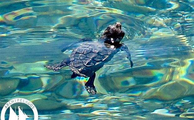 Θαλάσσιες Χελώνες στο Αιγαίο (εικόνες)