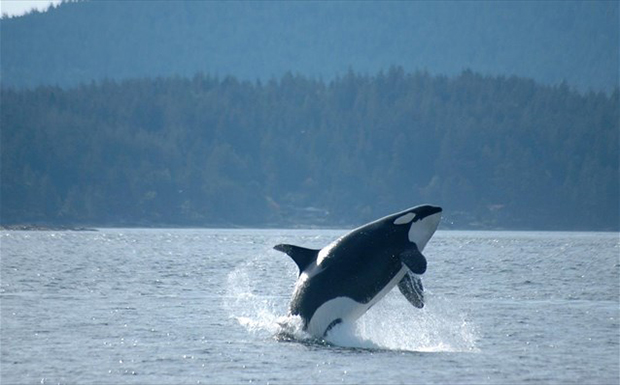 Ρωσία: Απελευθερώνει 10 φάλαινες- δολοφόνους, αλλά δεν τις αφήνει να επιστρέψουν στο «σπίτι» τους