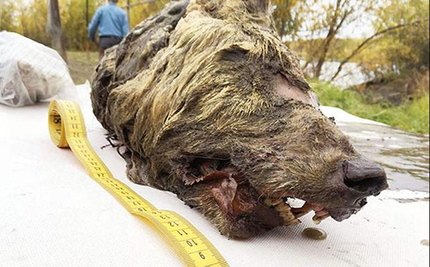 Kεφάλι προϊστορικού λύκου βρέθηκε σχεδόν άθικτο στη Σιβηρία