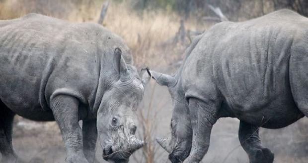Στο Εθνικό Πάρκο Ακαγκέρα της Ρουάντα επανεγκαταστάθηκαν πέντε μαύροι ρινόκεροι…