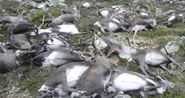Διακόσιοι τάρανδοι βρέθηκαν νεκροί από την πείνα στο νορβηγικό Αρχιπέλαγος Σβάλμπαρντ, στην Αρκτική