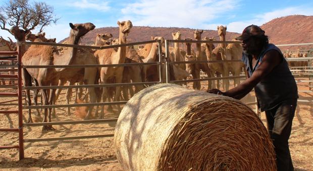 Αυστραλία: Μαζική θανάτωση 10.000 καμήλων