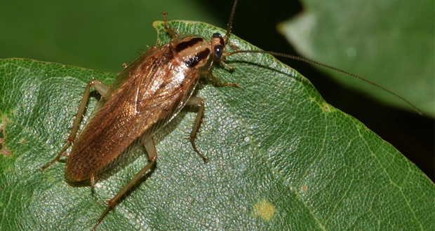 Πως θα ήταν να είχατε για κατοικίδιο μια κατσαρίδα;