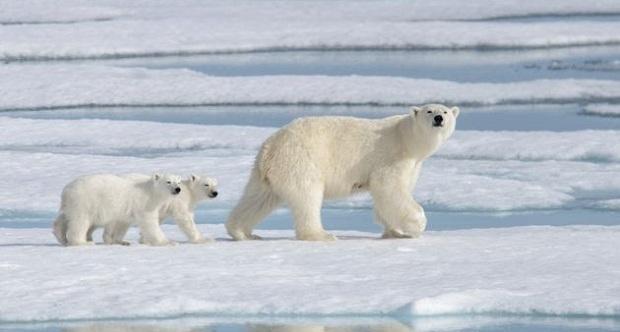 Αρκτική: Υπό τον κίνδυνο της ολοκληρωτικής εξαφάνισης οι πολικές αρκούδες σε 80 χρόνια