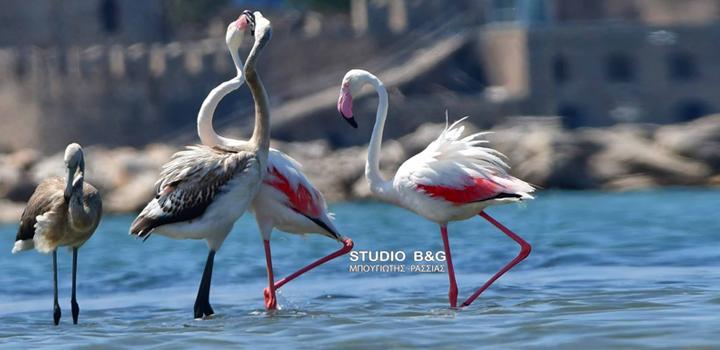 Φλαμίνγκο Ναύπλιο: Εξωτική ομορφιά (φωτο-video)