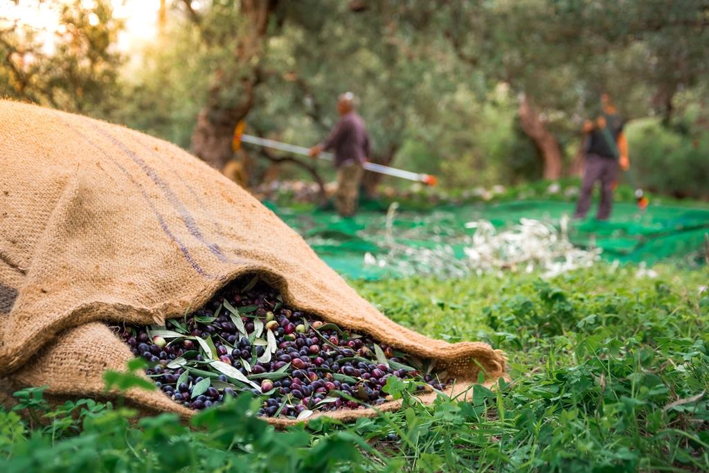 Ελιά: Το πολύτιμο δέντρο της… Ελλάδας