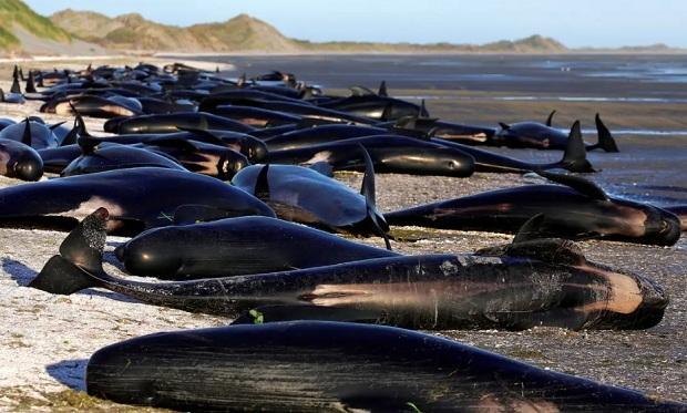 Η Υπηρεσία Διατήρησης της Άγριας Φύσης της Νέας Ζηλανδίας (DOC) ανακοίνωσε ότι 97 φάλαινες και 3 δελφίνια πέθαναν…