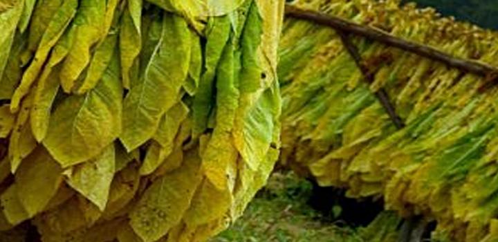Πληρώνονται 70 ευρώ για λοιπές επιτραπέζιες ελιές και 50 ευρώ για καπνά Βιρτζίνια- Για ΦΕΚ η ΚΥΑ Λιβανού-Σκυλακάκη