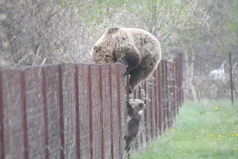 Αρκούδα σκαρφαλώνει φράχτη μαζί με το μωρό της και «κλέβει» κεράσια!