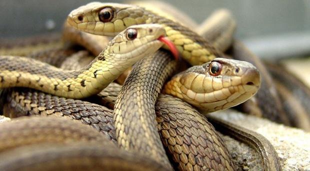 Φίδια – δεινόσαυροι: 1-0