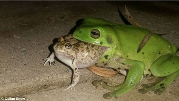Αυστραλία: Βάτραχοι-κανίβαλοι