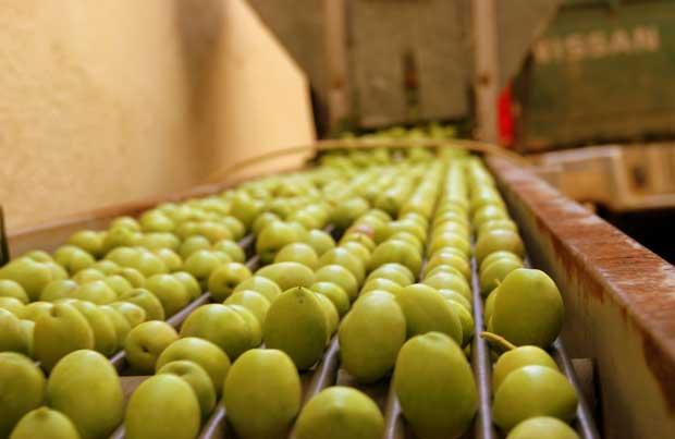 Τι προβλέπει η Κομισιόν για την παραγωγή επιτραπέζιας ελιάς – Τα στοιχεία για την Ελλάδα